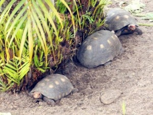Turtles that live outside the place I am staying at. Photo by Esther S. (Yes, I do not own a camera)